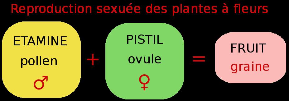 schema de la rencontre des cellules reproductrices